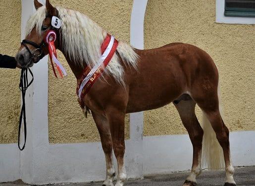 """""""Manege frei"""" für die Haflingerhengste 2020"""